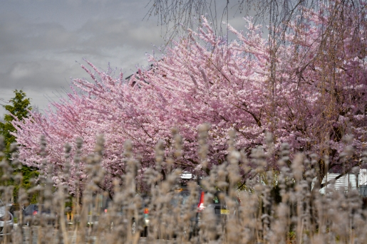 Cherry-Blossoms-2017-SM-12