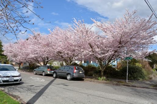 Cherry-Blossoms-2017-SM-13