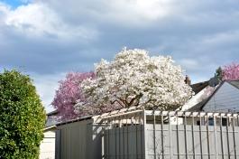 Cherry-Blossoms-2017-SM-16