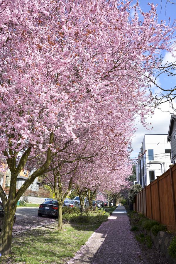 Cherry-Blossoms-2017-SM-2