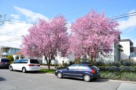 Cherry-Blossoms-2017-SM-3