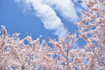 Cherry-Blossoms-2017-SM-7