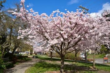 Cherry-Blossoms-2017-SM-8