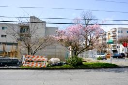 Cherry-Blossoms-2017-SM